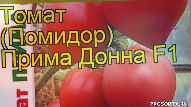 томат прима донна f1 посадка и уход, томат прима донна f1 уход, томат прима донна f1 посадка, томат прима донна f1 отзывы, где купить семена томат прима донна f1, купить семена томата прима донна f1, семена томат прима донна f1, видео томат прима донна f1