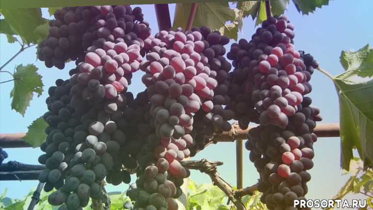 виноград кишмиш юпитер (jupiter)