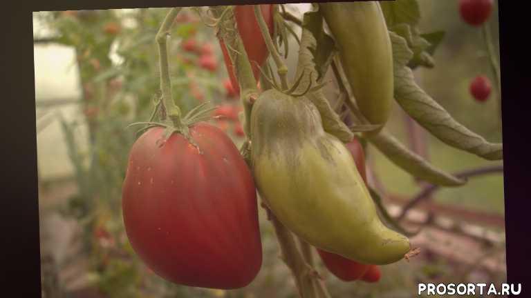 черноплодные томаты, томаты для теплицы