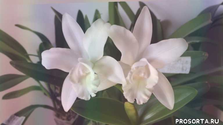 уход, каттлея уход и размножение, каттлея уход в домашних условиях видео, каттлея уход видео, как поливать каттлею, орхидея каттлея пересадка, как ухаживать за орхидеей каттлея, орхидея каттлея видео