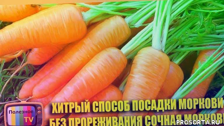 сочная морковь, посев моркови, как садить морковку, как посадить морковку, посадка морковки, морковка, как посадить морковь весной, как садить морковь весной