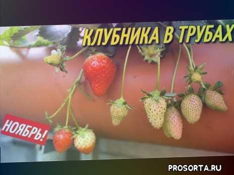 томаты, капри, черви, сода, йод, перекись водорода, нашатырный спирт, биогумус