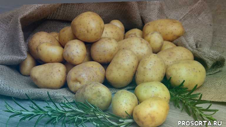 выращивание картофеля из мини клубней, картофель удача, картофель гала, виктория картофель, мини-клубни картофеля из виктории, мини клубни виктория, мини-клубни картофеля, мини клубни