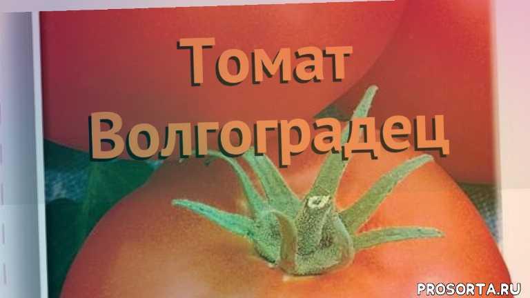 семена, томат обыкновенный волгоградец как сажать, томат обыкновенный волгоградец обзор как сажать, томат обыкновенный волгоградец обзор, томат волгоградец обзор как сажать, травы, обыкновенный томат волгоградец обзор как сажать, обыкновенный томат волгоградец обзор