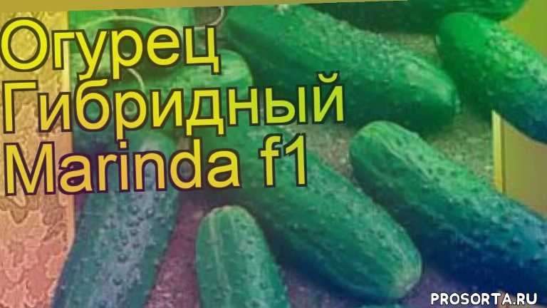 огурец гибридный маринда f1 уход, огурец гибридный маринда f1 посадка, огурец гибридный маринда f1 отзывы, где купить семена огурец гибридный маринда f1, купить семена огурца маринда f1, семена огурец гибридный маринда f1, видео огурец гибридный маринда f1, огурец гибридный маринда f1 описание характеристик