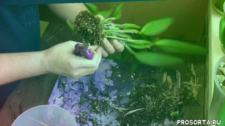гнилые корни, пересадка каттлеи, орхидея без грунта, каттлея, orchid, орхидея каттлея, грунт для орхидеи, пересадка орхидей