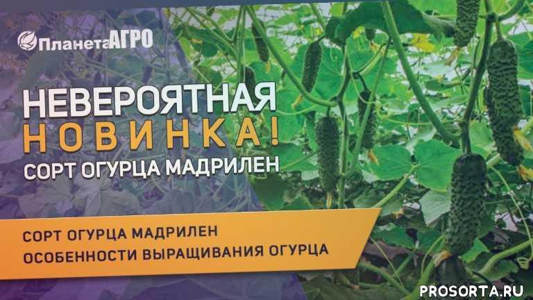 мадрилен полив, как сажать мадрилен, мадрилен гурец купить, полив огурцов мадрилен, выращивание огурцов в теплице, огурцы в теплице, уход за огурцом мадрилен, выращивание огурца мадрилен