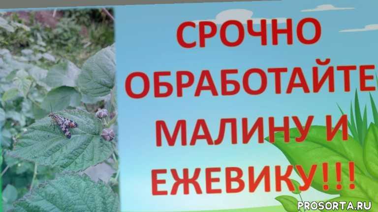 обработка ежевики от вредителей, обработка малины, шишки на стеблях ежевики, шишки на малине, вредители малины, как выращивать ежевику, вредители ежевики, малиновая муха