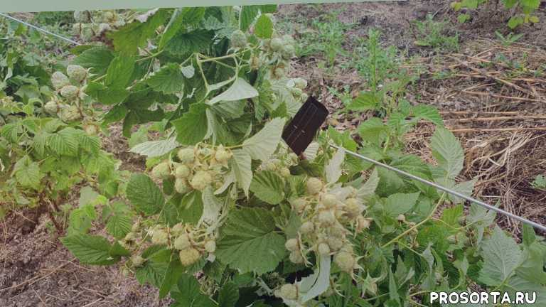 лячка ляшка высокоурожайный сорт малины