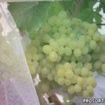 Разбираемся, как на обычной даче в Сибири вырастить виноград