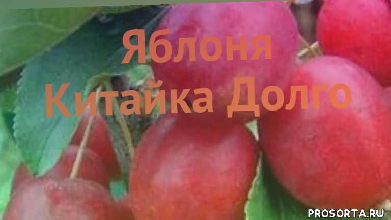 саженцы, саженцы яблони, яблоня китайка долго обзор как сажать, красивоцветущие' с декоративными плодами' декоративные' лиственные деревья, деревья, обыкновенная яблоня китайка долго обзор как сажать, обыкновенная яблоня китайка долго обзор, обыкновенная яблоня
