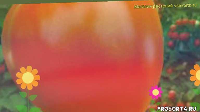 томат обыкновенный клубничное дерево отзывы, где купить семена томат обыкновенный клубничное дерево, купить семена томата клубничное дерево, семена томат обыкновенный клубничное дерево, видео томат обыкновенный клубничное дерево, томат обыкновенный клубничное дерево описание характеристик, краткий обзор томат обыкновенный клубничное дерево, томат обыкновенный клубничное дерево описание