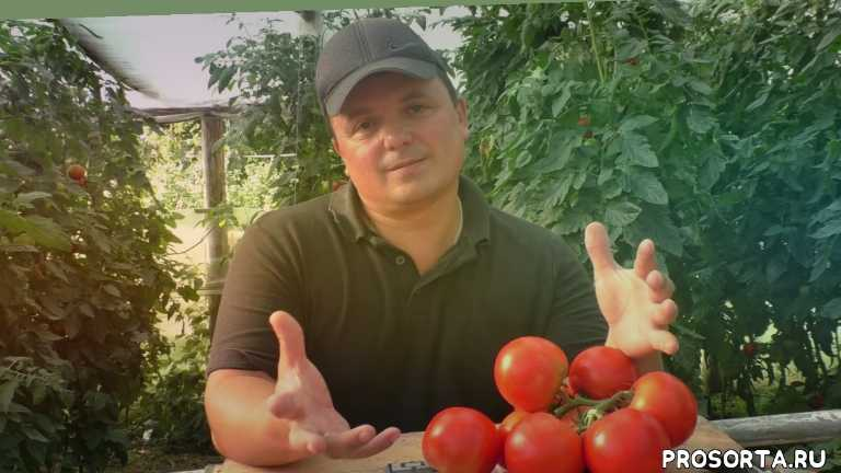 как вырастить томаты, чинто, выращивание помидоров, томаты