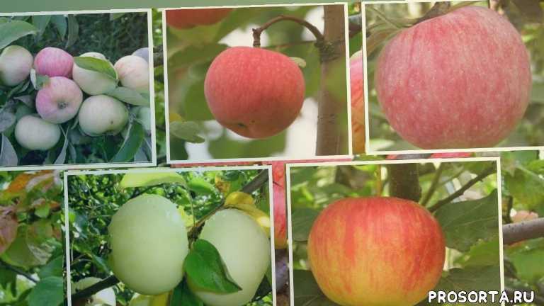 какой сорт яблони посадить, лучшие летние сорта яблонь, лучшие сорта яблонь, какя яблоня лучше, яблоня сорт, популярный сорт яблок, яблоня летний сорт, сорта летних яблок