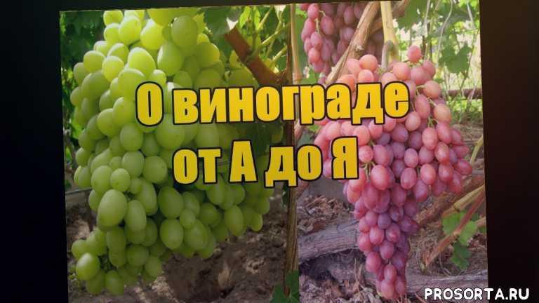 как прикопать виноград, подкормки винограда по листу, подкормки винограда навозом, как выращивать виноград в домашних условиях, как правильно выращивать виноград, как посадить и ухаживать за виноградом, выращивание винограда в украине, когда поливать виноград