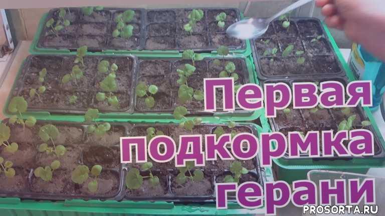 выращивание герани из семян в домашних условиях, урожайный огород, во саду ли в огороде, первый загородный с ольгой, какая нужна подкормка для цветов, чем подкормить рассаду герани, йод как подкормка для пеларгонии, подкормка йодом