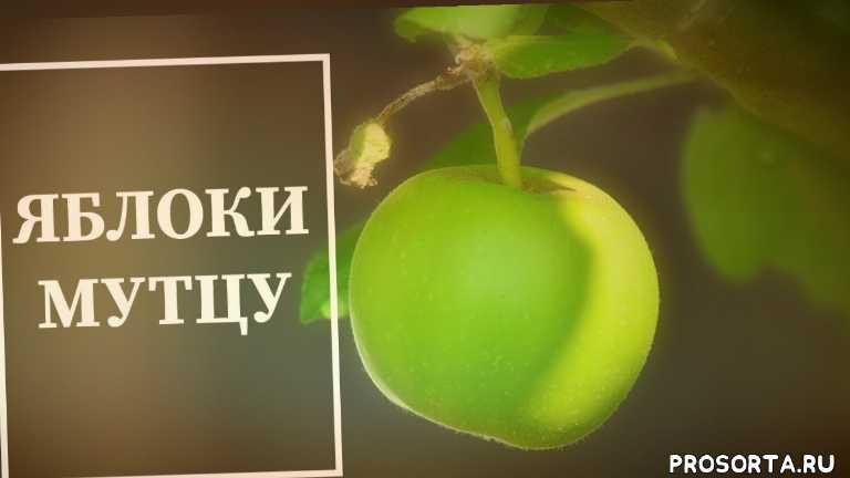 мутко яблока, саженцы яблок, виды деревьев, врукты, джем, интересно, огород, яблока