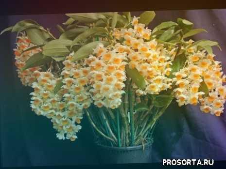 фаленопсис фото, орхидея уход, дендробиум уход фото, орхидея дендробиум в домашних условиях, орхидея дендробиум уход, дендробиум фото, дендробиум нобиле, дендробиум уход в домашних условиях