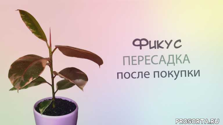 фикус эластика, пересадка фикуса, home plants, my plants, plants, мои цветы, мои растения, обзор растений