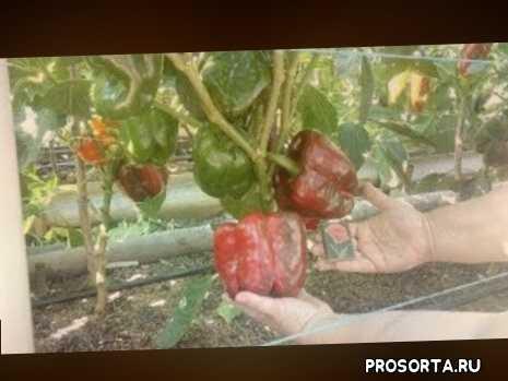 сладкий, посадка, выращивание перца, рассада перца, для, что, как, как собрать свои семена