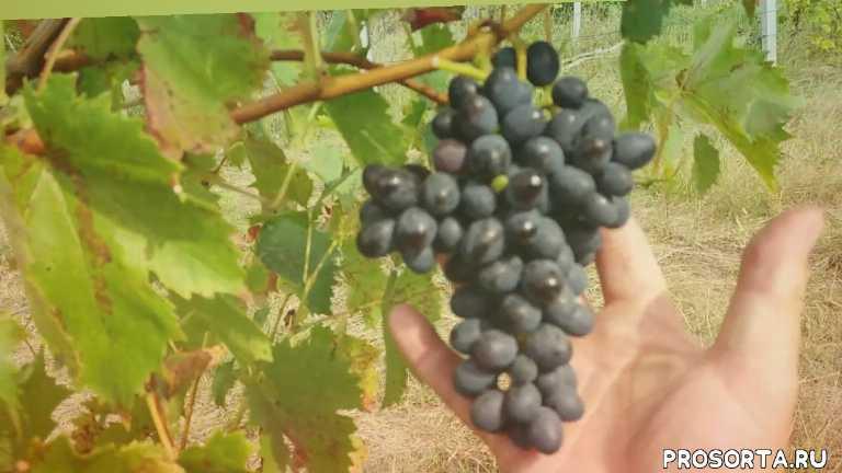 технические сорта винограда в украине, комплексноустойчивый виноград, морозостойкие сорта винограда в украине, морозостойкие сорта винограда, sokolman, sokolman sergey, виноградник соколмана сергея, обзор сортов винограда