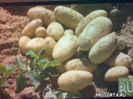картошка на огороде, посадка картошки, картошка из пятёроки, египетская картошка