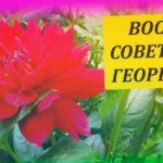 Восемь советов как выращивать ГЕОРГИНЫ в период цветения. Выращивание георгин из черенков. Далия.