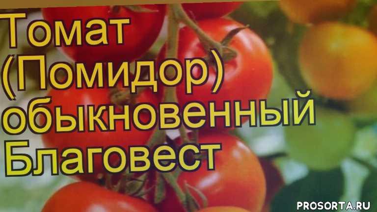 томат обыкновенный благовест уход, томат обыкновенный благовест посадка, томат обыкновенный благовест отзывы, где купить саженцы томат обыкновенный благовест, купить саженцы томата благовест, саженцы томат обыкновенный благовест, видео томат обыкновенный благовест, томат обыкновенный благовест описание характеристик
