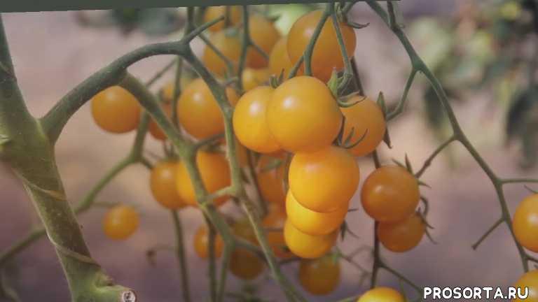 уход за черри, удобрения для черри, подкормки для черри, желтые черри, выращивание черри, черри, томаты черри