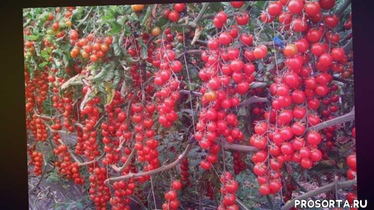 лидер, агрофирма партнер, семена, какие томаты посадить, лучшие из лучших, обзор, новинка, лучшие томаты