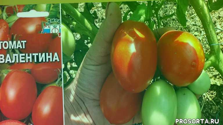 любимая усадьба, ранние томаты, для юга, обзор, лучшие сорта, выращивание, выращивание томатов, огород