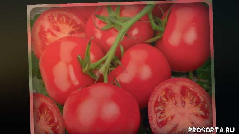дача, огородникам, томаты, устойчивые сорта томатов, лучшие сорта томатов, сильные сорта томатов, вкусные сорта томатов, классные сорта томатов
