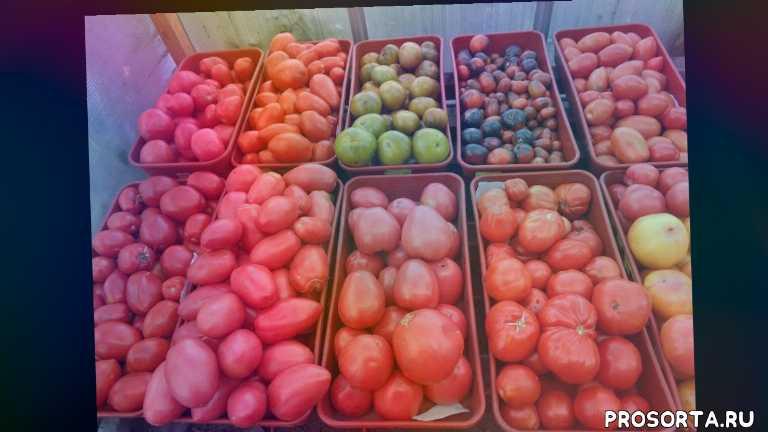 сад огород, уникальный томат батяня, самые крупные томаты для открытого грунта, томаты сибирские, . томат батяня, томаты урожайные, ольга чернова