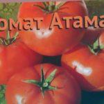 Томат обыкновенный Атаман (ataman) ? томат Атаман обзор: как сажать семена томата Атаман