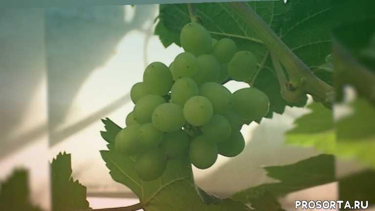 Выращивание винограда в Сибири