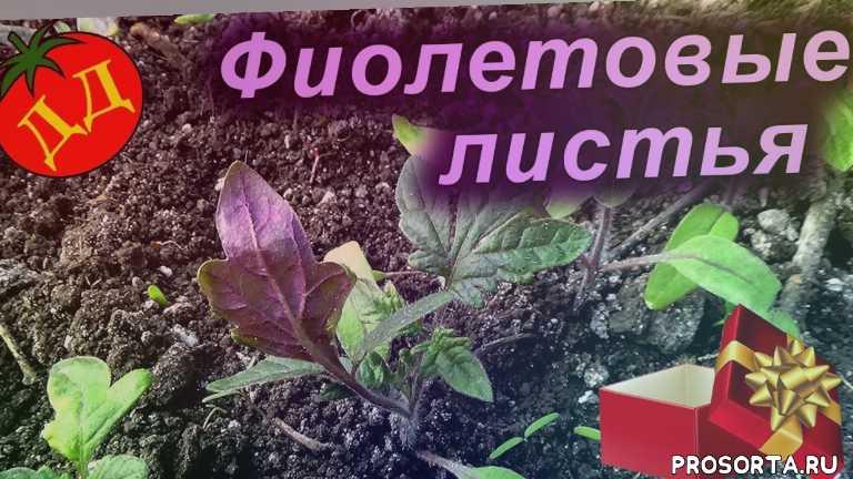 почему у рассады помидор фиолетовые листья, фиолетовый цвет листьев, почему у помидоров фиолетовые листья, лист фиолетового цвета, фиолетовые листья у томатов, лист помидор фиолетовый 3 718, почему листья фиолетовые, фиолетовые листья у рассады томатов