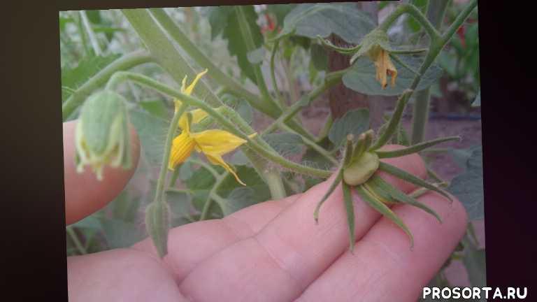 томат батяня, как формировать, формирование томатов, томаты, огородная азбука, ольга чернова