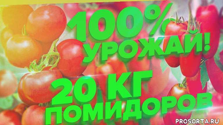 болезнеустойчивые томаты, томат стерлядь, томат пень, томат лось, болезни рассады томатов, здоровая рассада томатов, купить семена томатов, органическая подкормка томаты