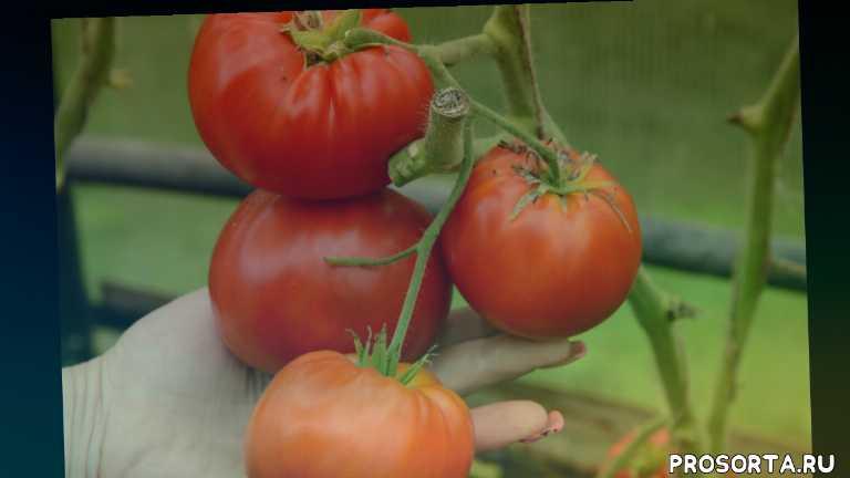 самый сочный помидор, сорт арбуз, томат арбуз отзывы фото кто сажал, помидор арбуз тест, помидор арбузные описание, сорт томата арбузные описание