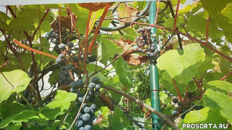амурский виноград особенносьи выращивания, быстрорастущая лиана, амурский виноград посадка уход, виноград для подмосковья, амурский виноград