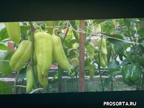 pepper, garden, чем подкормит перец, как вырастить сладкий перец, подкормка от вершинной гнили, чем подкормит перец при вершинной гнили, вершинная гниль перца, московская обл.