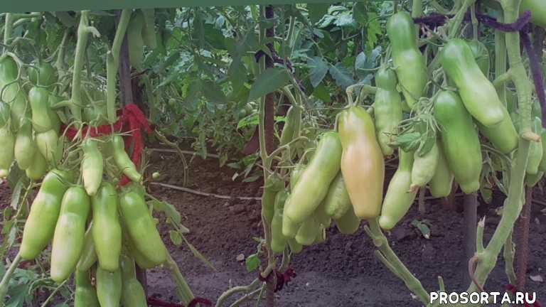 в открытом грунте, томат казанова, обзоры томатов, томаты, огородная азбука, ольга чернова