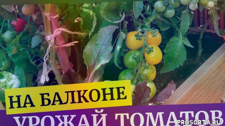 желтые томаты, томаты чери, урожай томатов, на балконе, помодоры, томаты, ваша дача, татьяна башмакова