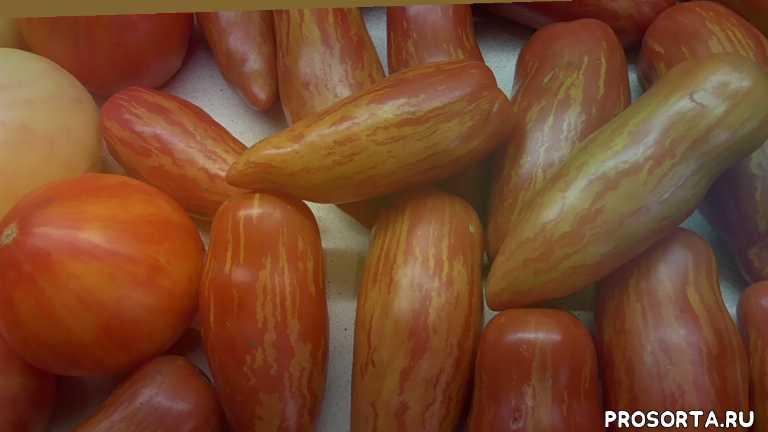перцевидный полосатый, томаты. обзор томатов, огородная азбука, ольга чернова
