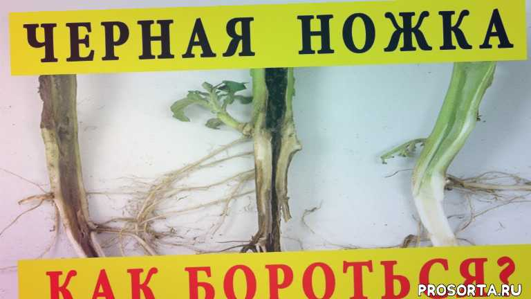 семена, болезни томатов, семена томатов, пикировка рассады, болезнь черная ножка, во саду ли в огороде, урожайный огород, марганцовка