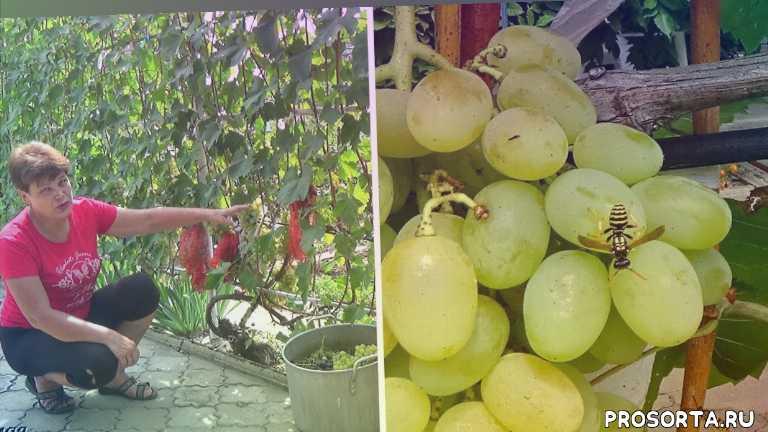 любимая усадьба, виноград выращивание, средства борьбы с осами, как избавиться, защита от ос, что делать, советы дачникам, посадка и уход