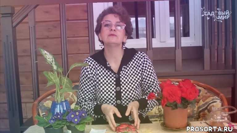 низкорослые томаты, ранние томаты, сорта томатов, томаты в открытом грунте, какие томаты сажать в откртый грунт, помидоры для открытого грунта, сорта для открытого грунта, как выбрать томаты