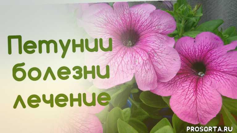 лечение мучнистой росы, лечение хлороза, заболевания петуний, болезни петцний, лечение петуний, выращивание
