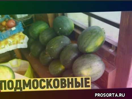 выращивание арбузов в московской области в открытом грунте.