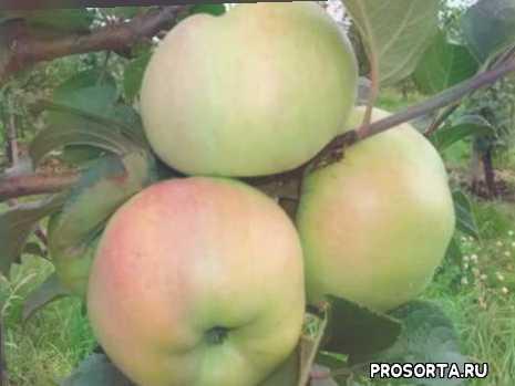 обрезка, как ухаживать, посадка яблони, описание сорта, уход, характеристика, яблоня богатырь, сорт яблони